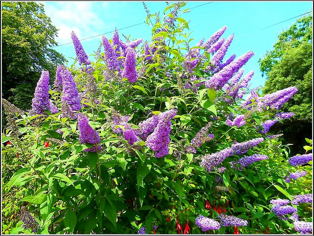 ..Buddleia  Bush ..