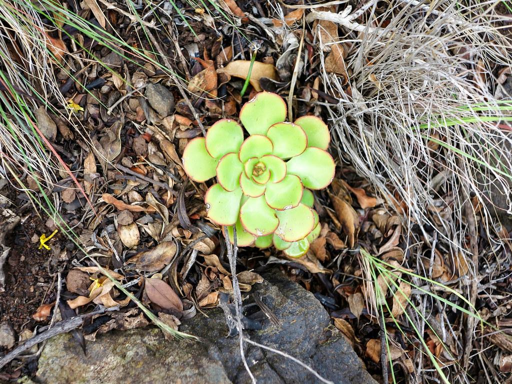 Verode, plantas de Canarias