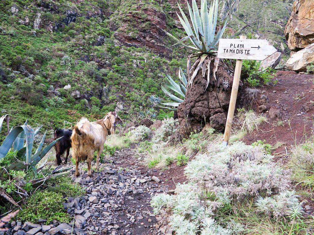 Cabras en el camino a Tamadiste