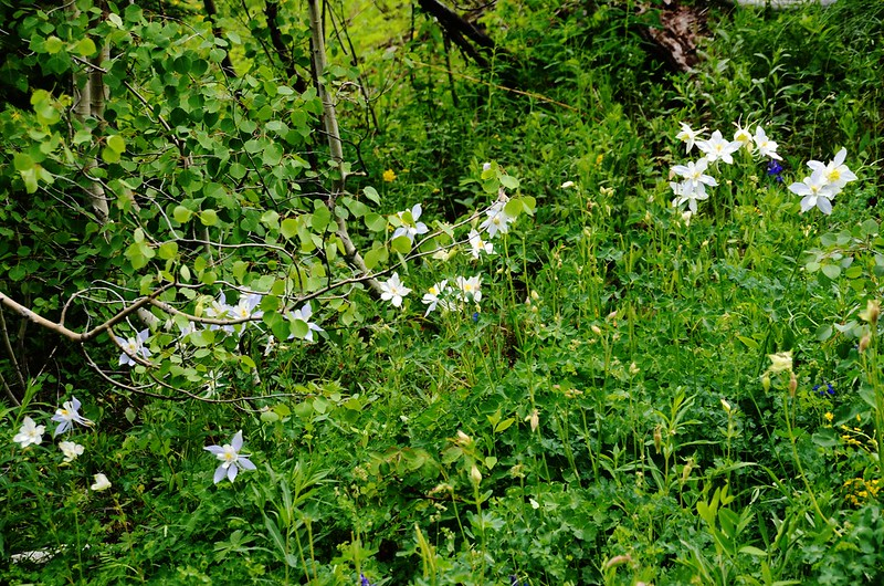 white columbine flower (2)