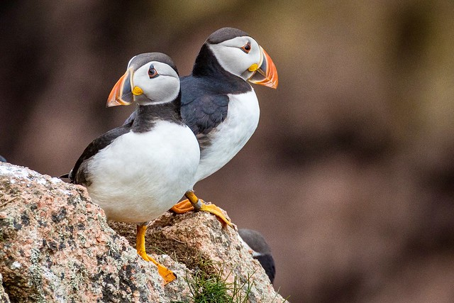 A pair of Puffin's