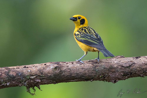 Golden Tanager