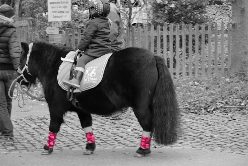 Shetland Pony 13.11 (4)