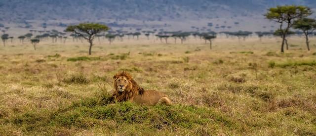 KENYAN AFRICAN LION