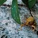 El gorgojo de las malvas (Lixus algirus)