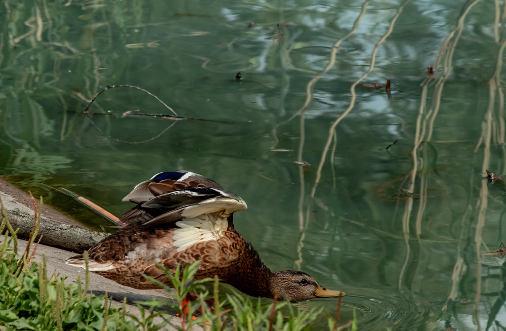 duck_neck