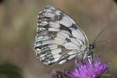 "Blanc marbré ""melanargia galathea"""