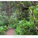 Redwood Forest Trail, Rhododendron Flowers