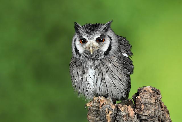 Southern White-faced Owl - Ptilopsis granti