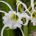 Hymenocallis narcissiflora, 7.18.19