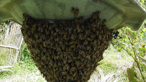 bee swarm July 19