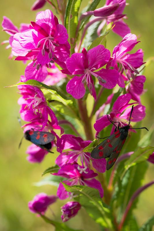 6-spot burnet moths on Rosebay-willowherb
