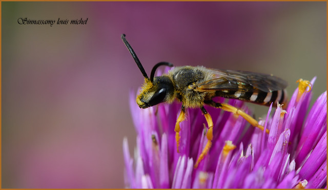 Solitary bee / Abeille solitaire