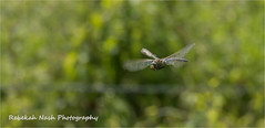 HolderDragonfly in flight