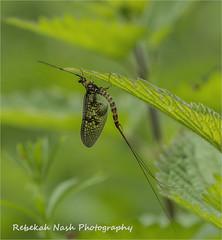 HolderMayfly