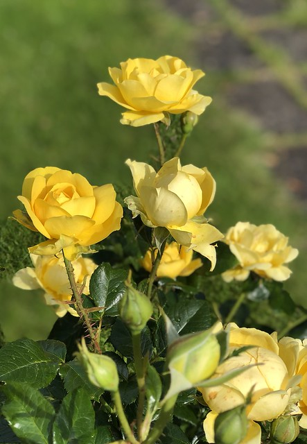 Roses in our garden 2019-07-18