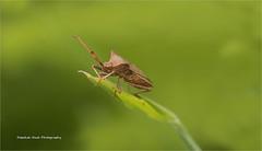 HolderBrown Sheild Bug