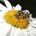 Hornet Likes Daisies IMG_1023