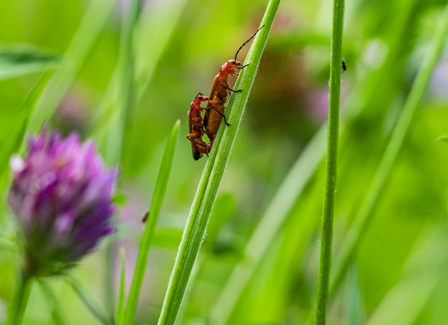 Mating in the Meadow