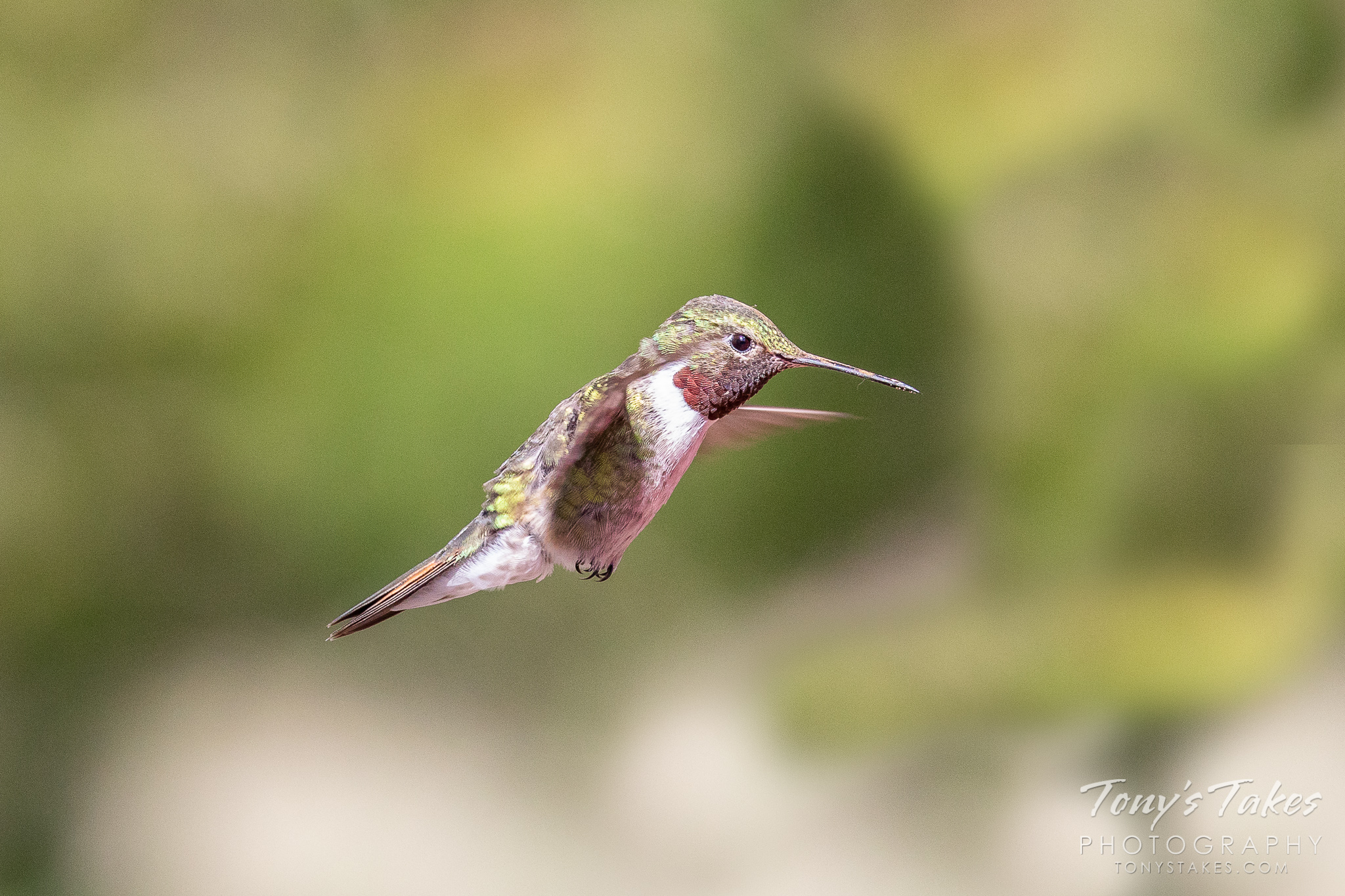 Hummingbird focused on the food