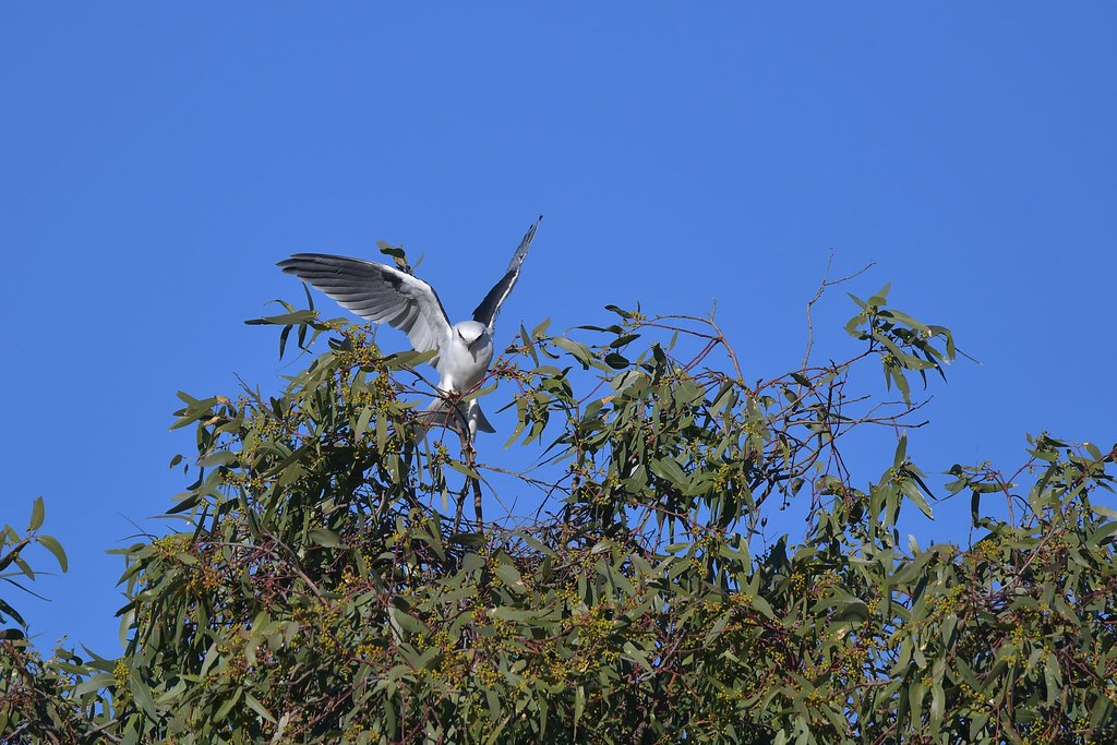 Black-shouldered Kite ( its the right place )