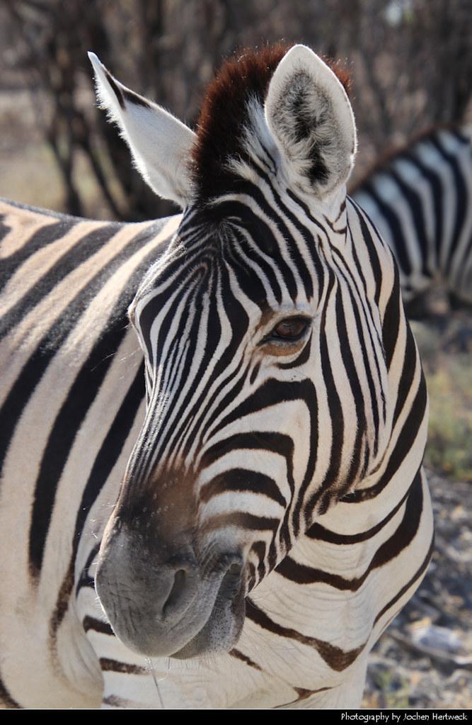 Zebra, Etosha NP, Namibia
