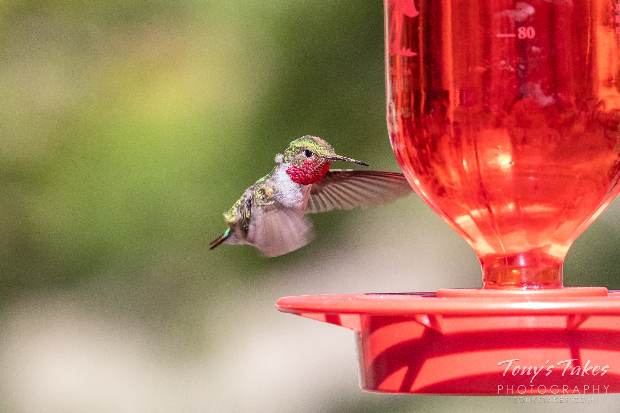 A broad-tailed hummingbird comes in for some food. (© Tony's Takes)