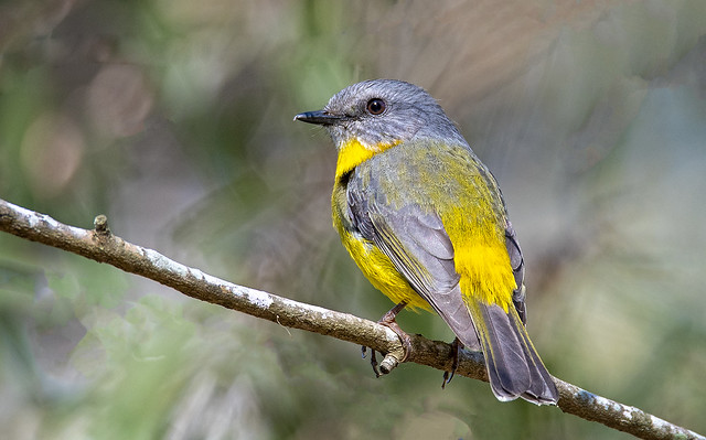 in the shadows - an eastern yellow robin