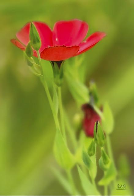 Wildflower Scarlet Flax