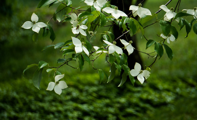 Dance of the dogwood