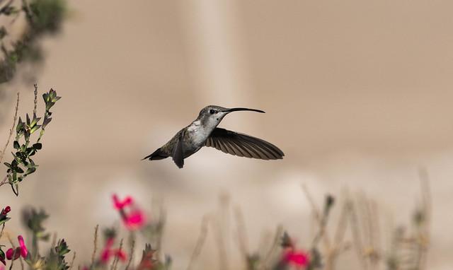 Female Oasis Hummingbird (Rhodopis vesper)