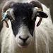 Sheep - England