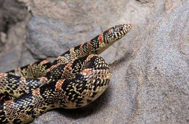 Longnose Snake (Rhinocheilus lecontei)