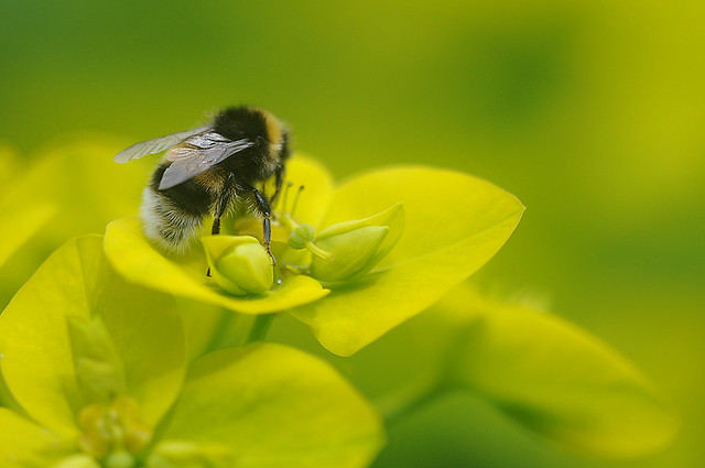 White-tailed Bumblebee 2