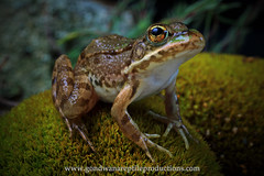 European Marsh Frog portrait
