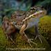 European Marsh Frog portrait