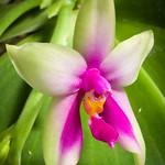 [Sabah Borneo, Malaysia] Phalaenopsis bellina (Rchb.f.) Christenson, Brittonia 47: 58 (1995)