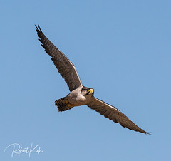Falco biarmicus / Lanner Falcon
