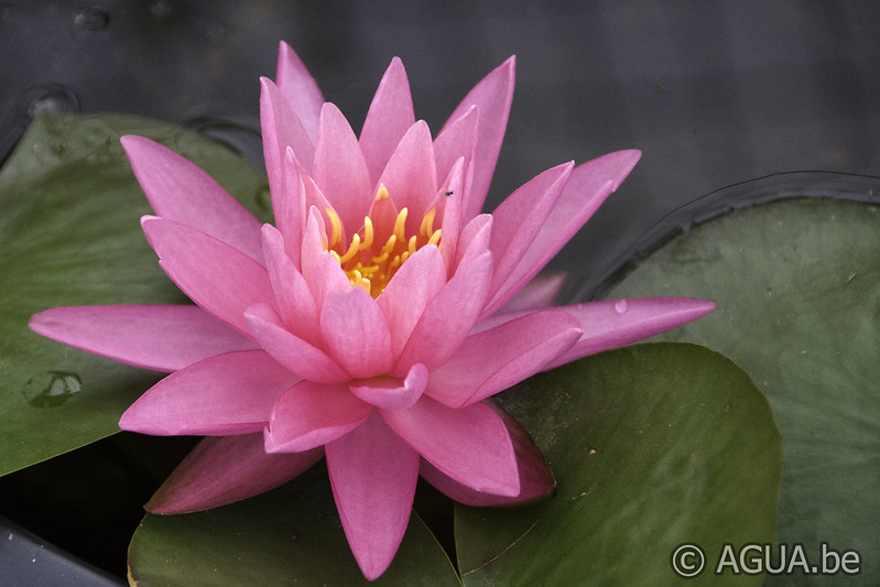 Waterlelie Rose Arey / Nymphaea Rose Arey