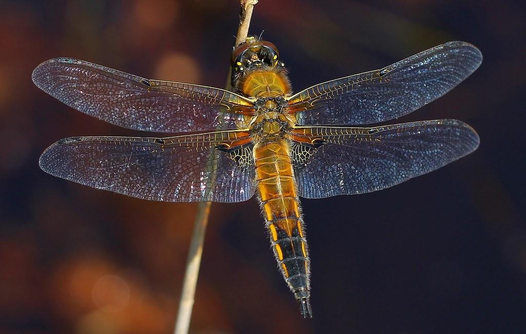 Four-spotted chaser- Libellula quadrimaculata- Arne RSPB Dorset -300519 (3)