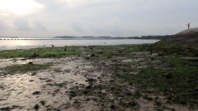 Living seagrass meadows at Pasir Ris Park