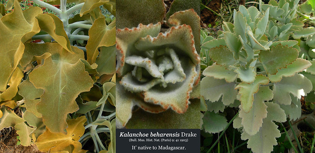 Kalanchoe beharensis (collage)