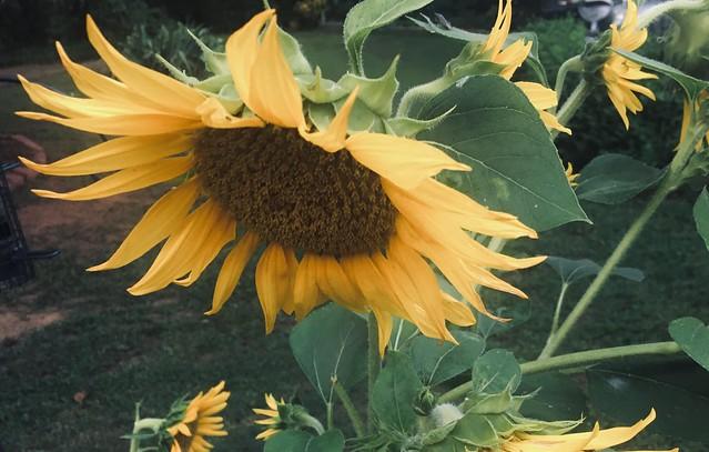 Sunflower for all