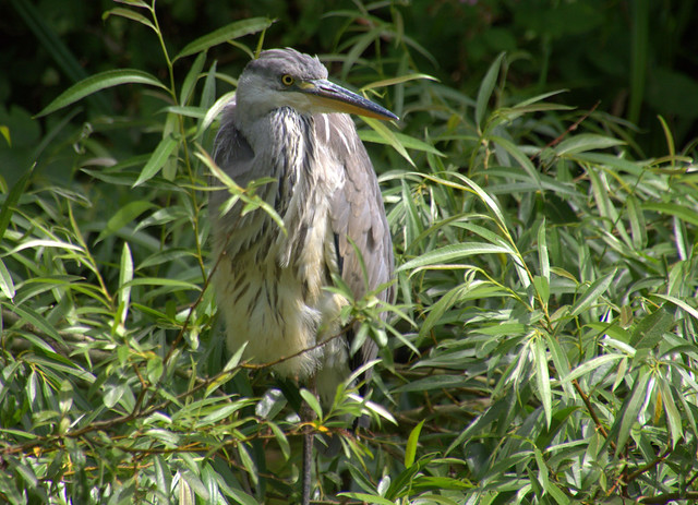 Heron back on the canal at Preston