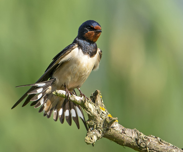 Swallow Barry's