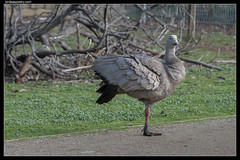 Cape Barren Goose: Sir Galahad holds the road