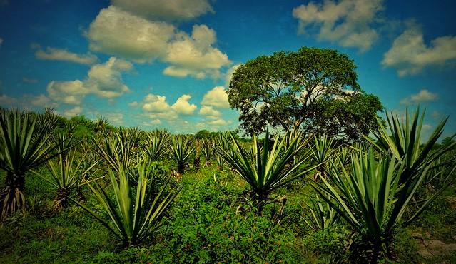 MEXIKO, Yucatán , Hacienda Sotuta de Peón, unterwegs auf der Sisalplantage, 19101/11762