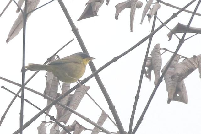 Gray-crowned Yellowthroat - Geothlypis poliocephala - Naranjito,, Puntarenas, Costa Rica - June 20, 2019
