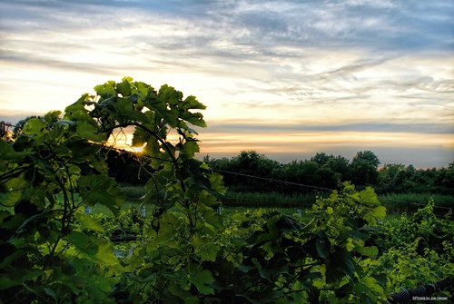 sunsetatthevineyard nassau nassaude lewes lewesde delaware de lowerslowerdelaware lsd sussexcounty vineyards vineyard view grapes sunset watchingthesunset sky clouds cloudy evening eveninglight eveningskies sunlight nassauvalleyvineyardsandwinery