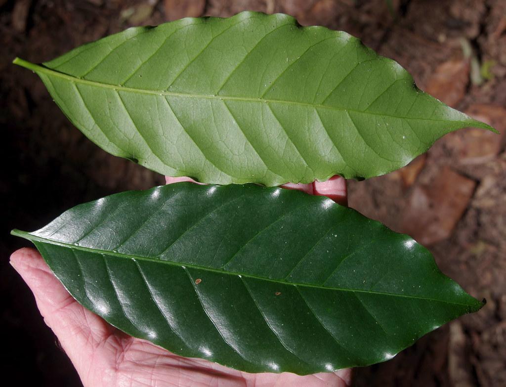Coffea arabica, Atherton, QLD, 17/07/19